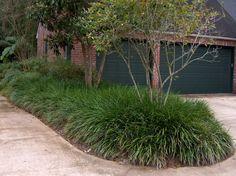 Giant Liriope plantsfordallas.com #plantsfordallas