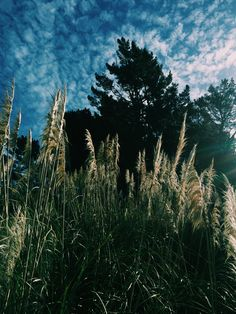 Toitoi's & pine, far-north New Zealand. Photo by Amanda Bransgrove New Zealand, Amanda, Pine, Landscapes, Mountains, Nature, Flowers, Travel, Art