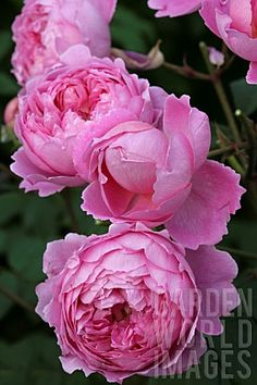 ~Rose Bush English Auslive by David Austin