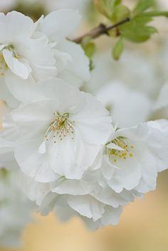White flowers ✿⊱╮