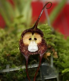 A rather sad-looking Monkey orchid.