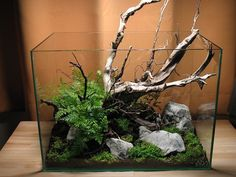 Ramis Ornata: meu primeiro projeto - Wabi-kusa [who says this layout is only for aquariums??]
