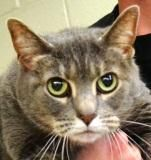 FINAL DATE EXPIRED CRITICAL!!!            Animal ID15626325   SpeciesCat   BreedDomestic Shorthair/Mix   Age10 years 14 days   SexFemale   SizeMedium   ColorGrey   Spayed/Neutered    DeclawedNo   HousetrainedUnknown   SiteHEART, Help Every Animal Reach Tomorrow--SOUTH CAROLINA   Intake Date3/15/2012   Adoption Price$68.00