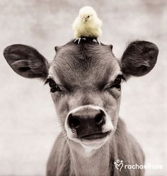 Adorable Animals & Amazing Pets Inspiration Pictures chick and cow baby adorable Cute Baby Animals, Farm Animals, Animals And Pets, Funny Animals, Wild Animals, Baby Chickens, Baby Cows, Baby Elephants, Mundo Animal
