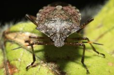 What happened to the stink bugs?