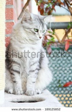 new on @Shutterstock from today, silver version of #siberiancats