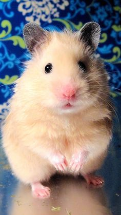 Caring Guide for Baby Hamsters Super Cute Animals, Like Animals, Animals And Pets, Baby Animals, Hamster Live, Hamsters As Pets, Cute Hamsters, Rodents, Cutest Animals