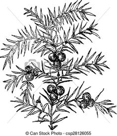 Vector - Juniper, vintage engraving. - stock illustration, royalty free illustrations, stock clip art icon, stock clipart icons, logo, line art, EPS picture, pictures, graphic, graphics, drawing, drawings, vector image, artwork, EPS vector art