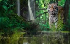 Download wallpapers Tiger, wildlife, predator, jungle, river, forest