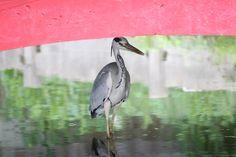 108/365 (2) Grey heron under the bridge By Mes Crazy Experiences