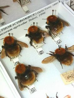 """""""Vacancy @NHM_London! Postdoctoral Researcher @NERC #bees - archival DNA from bumblebees https://t.co/BCFIw8Rg19"""""""