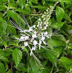 Tanaman Kumis Kucing (Cat's Whiskers) Natural Medicine, Herbal Medicine, Herb Garden, Vegetable Garden, No Waste, Herbs For Health, Cat Whiskers, Medicinal Plants, Compost
