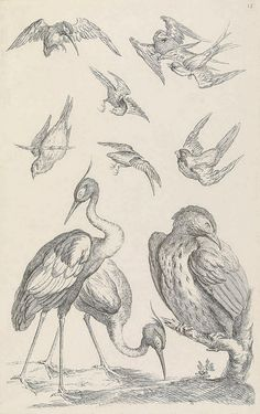 Eclectic historic science and art images from rare books and prints Bird People, Bird Sketch, Muse Art, Zoology, Future Tattoos, Illustrations, Bird Art, Natural History, Chinoiserie