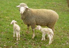 (mouton) bélier, brebis, agneau