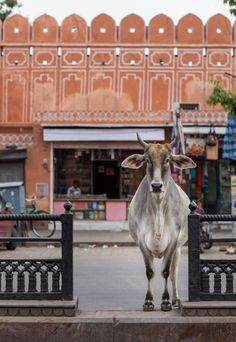 Holy Cow. Jaipur, India, 2015. The cow is possibly revered in India because Hindus rely heavily on it for dairy products and for tilling the fields, and cow dung is used as a source of fuel. Kevin Standage