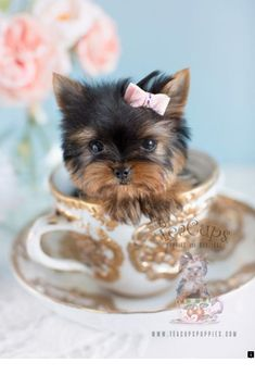 Micro Teacup Yorkie Puppy www.TeaCupsPuppie& Toy Teacup Puppies For Sale Source by teacupspuppies Yorkie Puppy For Sale, Teacup Puppies For Sale, Cute Dogs And Puppies, Lab Puppies, Yorkies For Sale, Poodle Puppies, Spaniel Puppies, Tea Cup Yorkie Puppies, Puppys For Sale