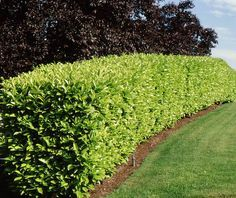 Large evergreen shrub has dense, erect branches and rich green leaves. Tiny flowers have sweet fragrance. Tolerant of salt spray. A popular choice for clipped hedges, group plantings or screens. Privacy Hedge, Privacy Landscaping, Garden Landscaping, Landscaping Ideas, Laurel Hedge, Laurel Plant, House Landscape, Landscape Design, Gardens
