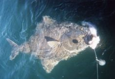 One of the thing on my bucket list is to go Halibut fishing in Alaska Halibut Fishing, Alaska Adventures, Alaska Fishing, Best Fishing, Whale Watching, Wildlife, Bucket, Travel, Animals