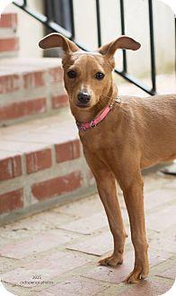 Baton Rouge, LA - Miniature Pinscher/Dachshund Mix. Meet Luna, a dog for adoption. http://www.adoptapet.com/pet/12613952-baton-rouge-louisiana-miniature-pinscher-mix