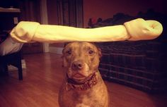 This Dog Can Stack Anything On His Head. You'll Die Laughing At What His Owner Has Tried...LOL