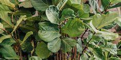 🌳🌸🍀 Το φθινόπωρο έχει έρθει για τα καλά και είναι η κατάλληλη εποχή για να ανανεώσουμε τα φυτά στο σπίτι και στο γραφείο μας. Ο φίκος λυράτα είναι ένα από τα πιο δημοφιλή και εντυπωσιακά φυτά εσωτερικού χώρου για να δώσουμε εξωτική ομορφιά στον χώρο μας. 🌱 Ο φίκος λυράτα μπορεί επίσης να φυτευτεί σε εξωτερικό χώρο, στον κήπο και σε γλάστρα στο μπαλκόνι. 🌷 Πρόκειται για ένα τροπικό καλλωπιστικό φυτό με μεγάλα, φαρδιά, σκουροπράσινα φύλλα που ξεχωρίζουν.