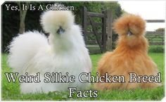 The Homestead Survival | Weird Silkie Chicken Breed Facts |Raising Chickens - Homesteading  http://thehomesteadsurvival.com