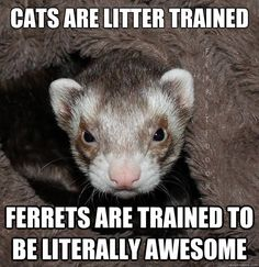 20 Extremely Funny Ferret Memes - World's largest collection of cat memes and other animals Baby Ferrets, Funny Ferrets, Pet Ferret, Ferret Toys, Animals And Pets, Baby Animals, Funny Animals, Cute Animals, Winchester