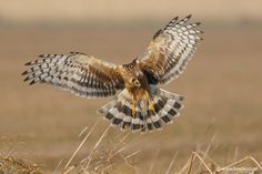 Photograph Hen Harrier by Kee Liu on 500px