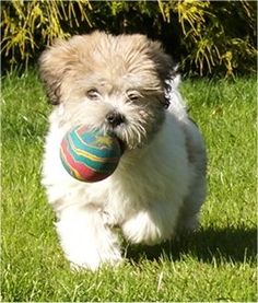 Lhasa Apso and Bichon Frise mix. :) If I got a puppy I want this one!!!!!
