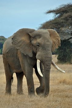 Savanna Animals, Jungle Animals, Nature Animals, Cute Baby Animals, Animals And Pets, Elephants Photos, Elephant Pictures, Wild Animals Photos, Bull Elephant