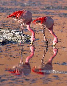 James's Flamingo; Photo by: Pedro Szekely; Posted by: Nate Kay