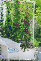 Mit Feuerbohnen könnte man sich hier den ganzen Sommer an den Blüten erfreuen,  noch ernten und essen