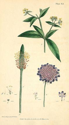 London: J. White 1799 (biodiversitylibrary.org)