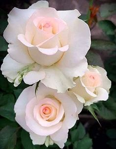 Beautiful Rose Flowers, Beautiful Flowers Wallpapers, Beautiful Flower Arrangements, Love Rose, Exotic Flowers, Amazing Flowers, Pretty Flowers, Beautiful Gardens, Flower Images