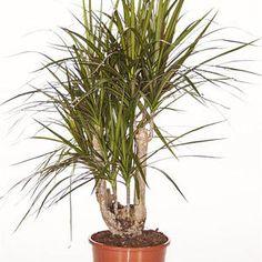 Drachenbaum (verzweigt) - Dracaena marginata