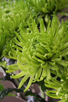 chrysanthemum... one of our many flowers