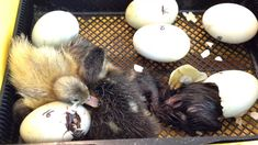 watch baby ducks hatching Make Way for Ducklings