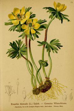 1 - Atlas der Alpenflora / - Biodiversity Heritage Library