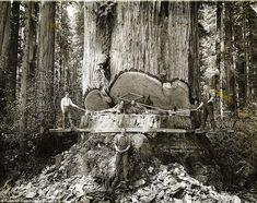 Las fotos mágicas que muestran valientes leñadores que talaron secuoyas en California a mano