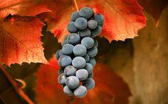 Folhas de macro de outono, uvas, Vetor