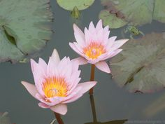 Waterlily with frog