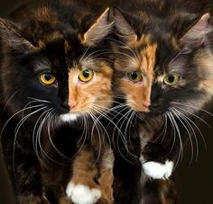 insolite chat chimere double visage