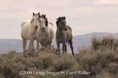 Petition. Please take a moment to tell the BLM that Americans oppose the mass extermination of wild horses in Wyoming, and that ranchers must be persuaded to tolerate America's wild horses in exchange for the privilege of grazing their livestock on our public lands thanks to our generous tax subsidies. American Wild Horse Preservation Campaign. Posted 11 26 2012