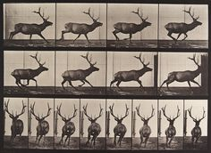 Animal Locomotion. Artist: Eadweard Muybridge (1887)