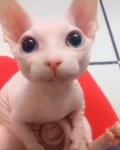 Say Ahh because I know you will - Cutest Baby Animals Cute Baby Cats, Cute Little Animals, Cute Cats And Kittens, Cute Funny Animals, Kittens Cutest, Funny Cute, Cute Dogs, So Cute, Baby Animals Super Cute