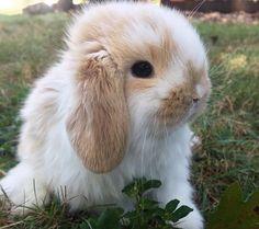 dwarf bunnies lop dwarf bunnies _ dwarf bunnies for sale _ dwarf bunnies care _ dwarf bunnies full grown _ dwarf bunnies lop Mini Lop Bunnies, Holland Lop Bunnies, Dwarf Bunnies, Cute Baby Bunnies, Cute Babies, Bunny Bunny, Bunny Rabbits, Dwarf Rabbit, Pet Rabbit