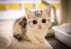 munchkin kitten - Google Search