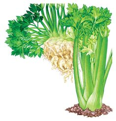 Growing celery is an easy way to avoid chemical residues and enjoy a low-calorie, nutritious vegetable, great for cooking and snacking. Learn how to grow celery, cutting celery and celeriac — three different forms of celery's parent species.data-pin-do= Edible Garden, Vegetable Garden, Garden Plants, Growing Veggies, Growing Plants, Agriculture, List Of Vegetables, Mother Earth News, Grow Organic