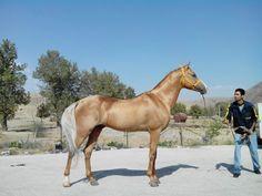 Gold & silver Turkoman horse