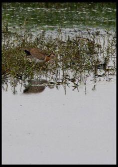 Juvenile pheasant tailed Jacana [Pic: Sushil Katre]